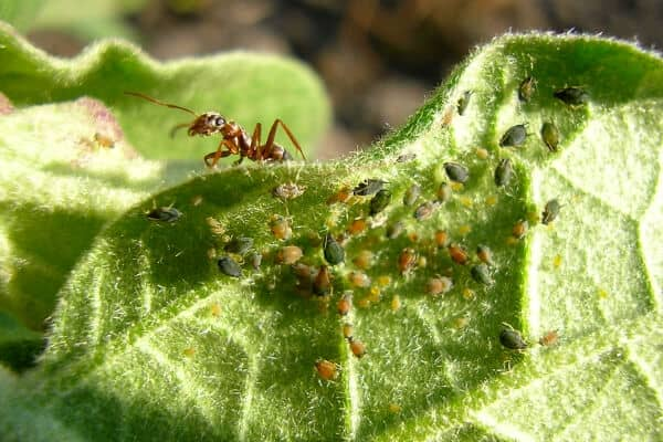 How to Control Aphids: 9 Companion Plants That Repel Aphids