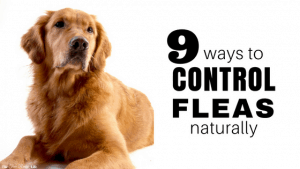 Controlling fleas is tough and who wants to poison your pets to get rid of them? Try these 9 ways to control fleas naturally and get rid of them for good!