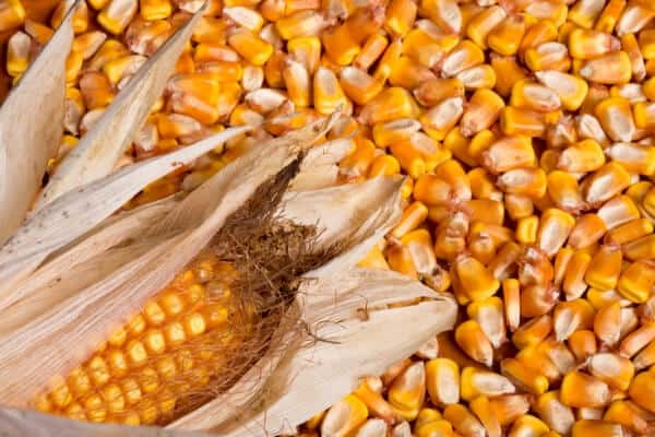 dry corn in a pile with an ear of dry corn