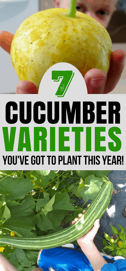 Gardening Tip: Are you looking for some new cucumber varieties to try this year? Check out these 7 types of cucumber that are easy to grow and taste amazing!