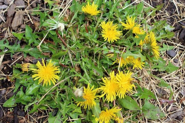 edible dandelion patch