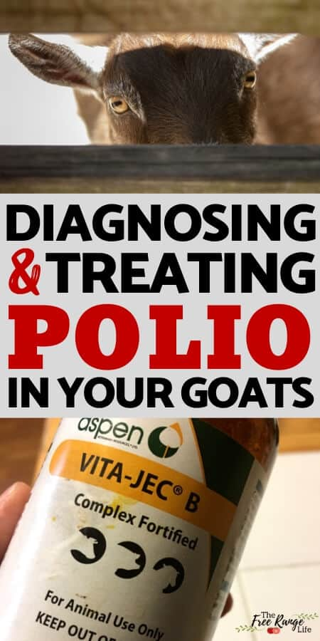 diagnosing and treating polio in your goats with a picture of a goat and bottle of forified vitamin b complex