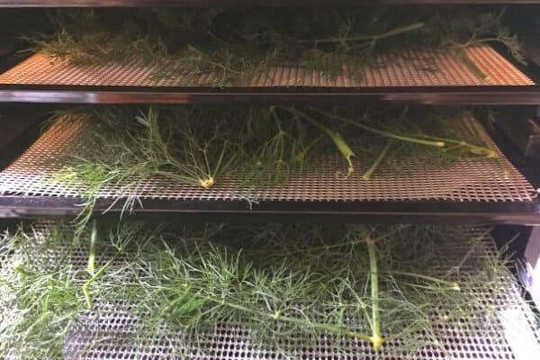 3 dehydrator trays of fresh dill ready to dry