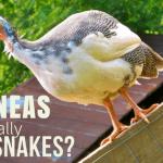 Do Guineas Eat Snakes? The Truth Revealed!