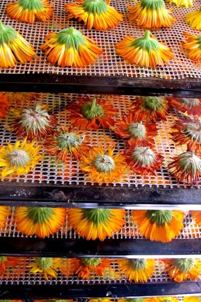 calendula flowers on dehydrator tray