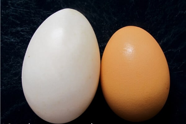 duck eggs vs chicken eggs appearance