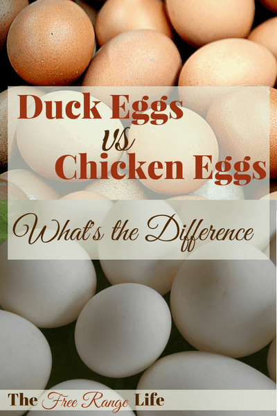 Everyone has had chicken eggs, but what about duck eggs? What is the difference between duck and chicken eggs? Learn how they compare...