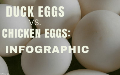 Chicken Eggs vs Duck Eggs: An Infographic