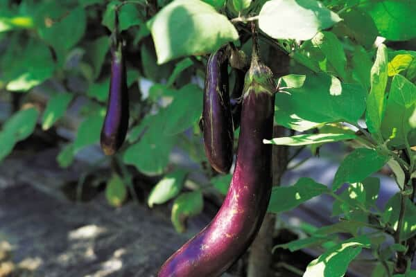 The Best Eggplant Companion Plants for Your Backyard Garden