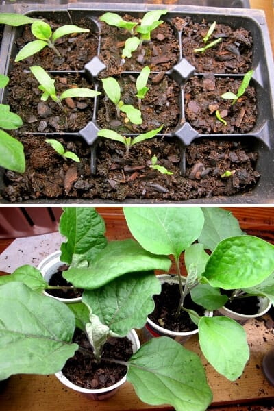 just sprouted eggplant seedlings in a tray and 4 week old eggplant transplants