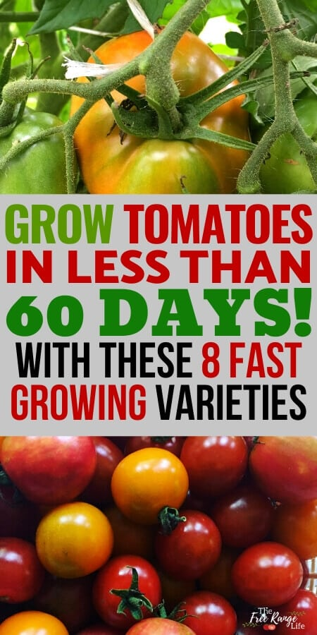 grow tomatoes in less than 60 days with these 8 fat growing tomatoes