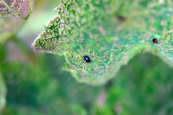 close up of flea beetle on a leaf