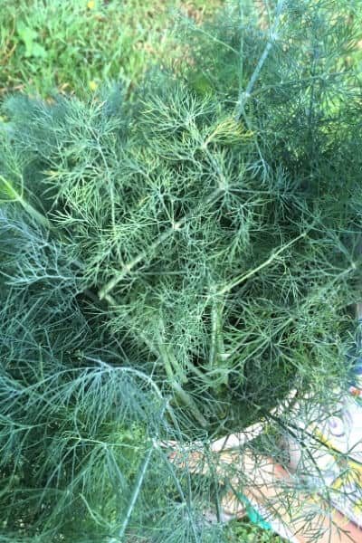 fresh dill in a basket in the garden