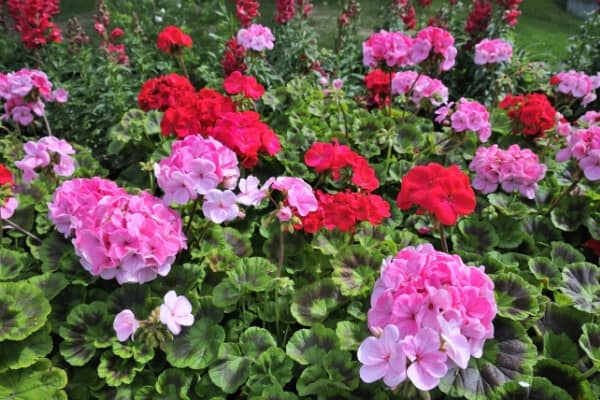 pink and red geranium flower bed