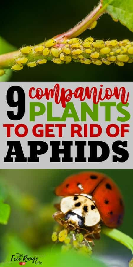 Organic Gardening: Aphids can destroy your crops and bring disease to your garden. Learn how to control aphids through companion planting and other natural measures.