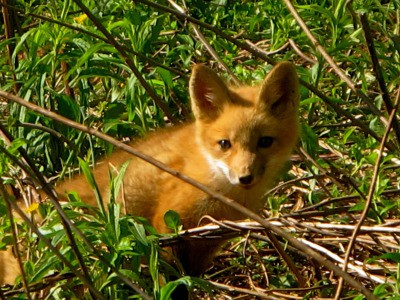 Foxes are a big problem for poultry owners, learn the number 1 way to get rid of foxes for good!
