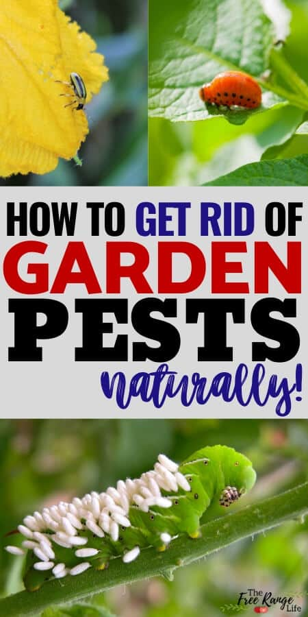 how ot get rid of garden pests naturally with collage for potato beetle, hormworm, and cucumber beetle