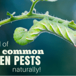 How To Get Rid Of Worms In Chickens Naturally