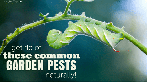 Get Rid Of These Common Garden Pests Naturally The Free