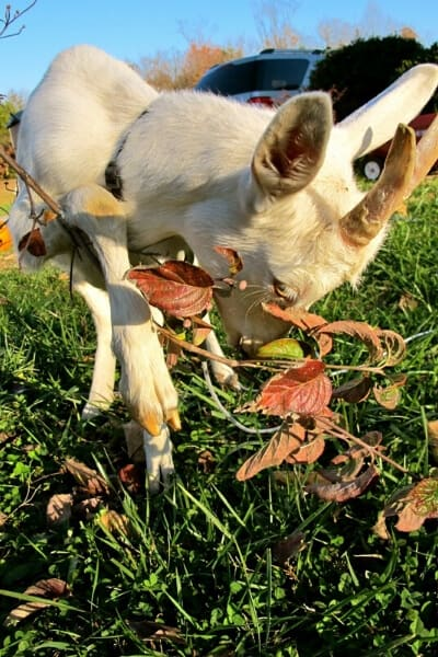 goat in yard eating a dogwood treat branch