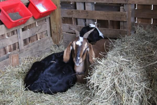 goats laying in hay and straw
