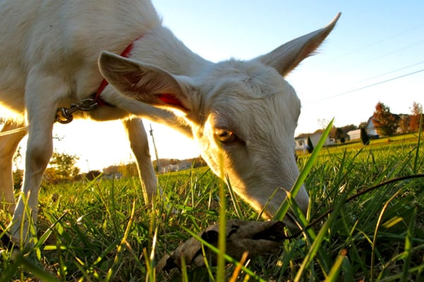 goat grazing on grass