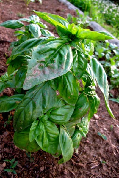growing basil in garden