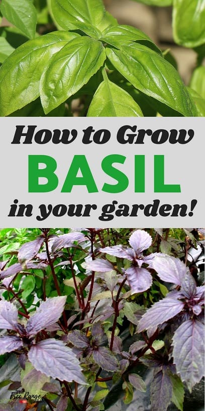 Gardening Tips: Basil is one of the most popular culinary herbs, luckily growing basil is super easy! Learn how to grow basil- plus tips on care, harvest, and preserving!