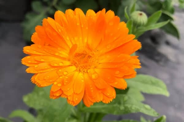 growing calendula- orange bloom with raindrops