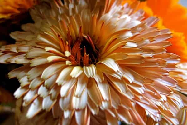 growing calendula- pale bloom
