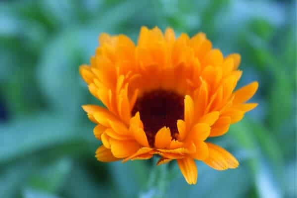 growing calendula- orange bloom, half open
