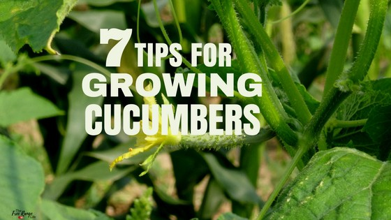 7 Tips for Growing Amazing Cucumbers