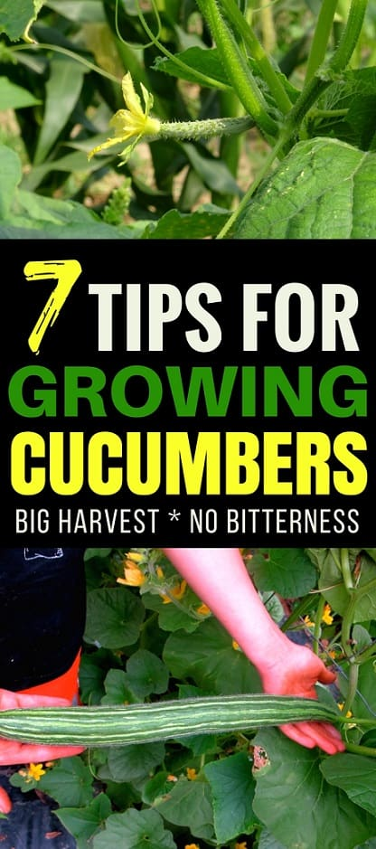 Vegetable Gardening Tips: Growing cucumbers is a rewarding experience for any gardener. Learn these 7 tips for growing amazing cucumbers that produce well and taste amazing!