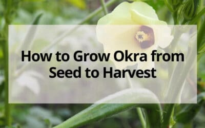 How to Grow Okra From Seed to  Harvest