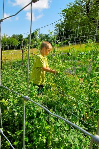 peas grown vertically in the garden in multiple rows using fence panels