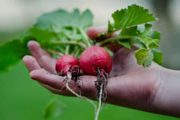Growing Radishes in Your Garden: Seed to Harvest