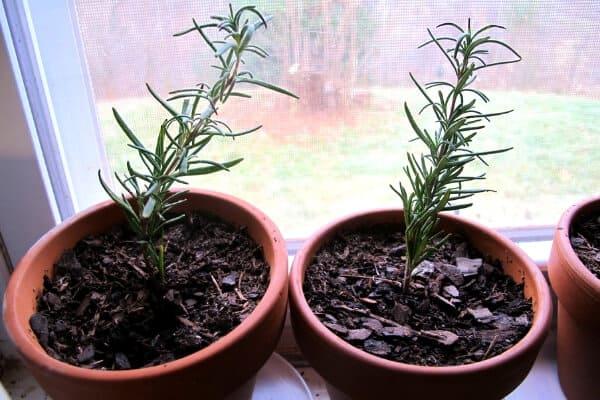 Rosemary Inside Plant