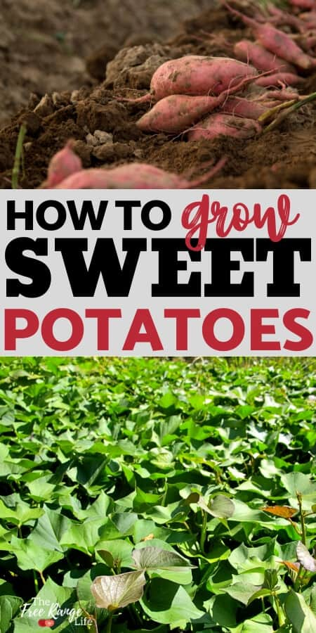 Growing sweet potatoes is simple and rewarding. Learn how to grow sweet potatoes from slips, plus when to harvest and how to cure sweet potatoes!