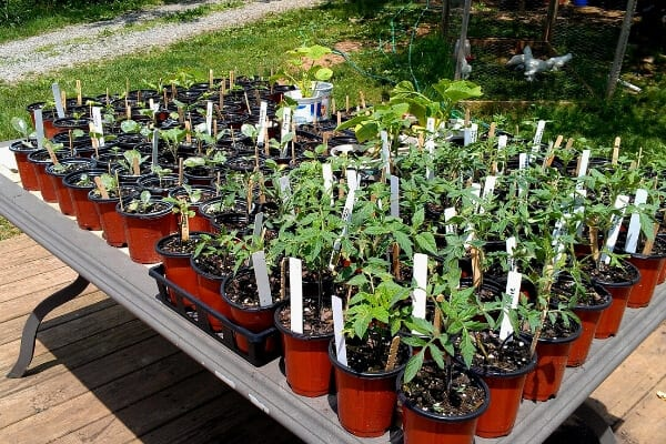 hardened off seedlings ready to be transplanted