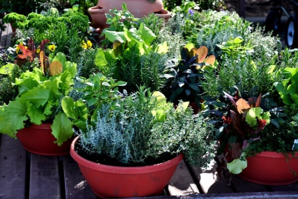 herbs, lettuce and greens in red planters on deck
