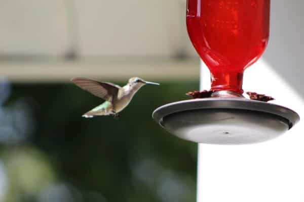 hummingbird approaching a red hummingbird feeder