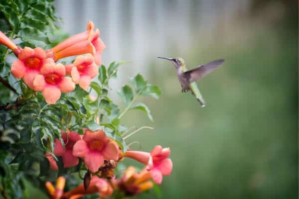 hummingbird coming to red flowers