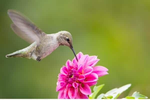 hummingbird drinking from pink flower