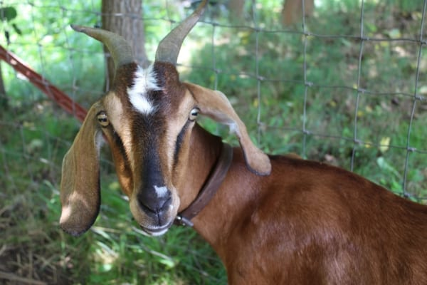 How To Build A Goat Pen Everything You Need To Know