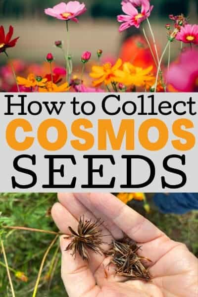 how to collect cosmos seeds
