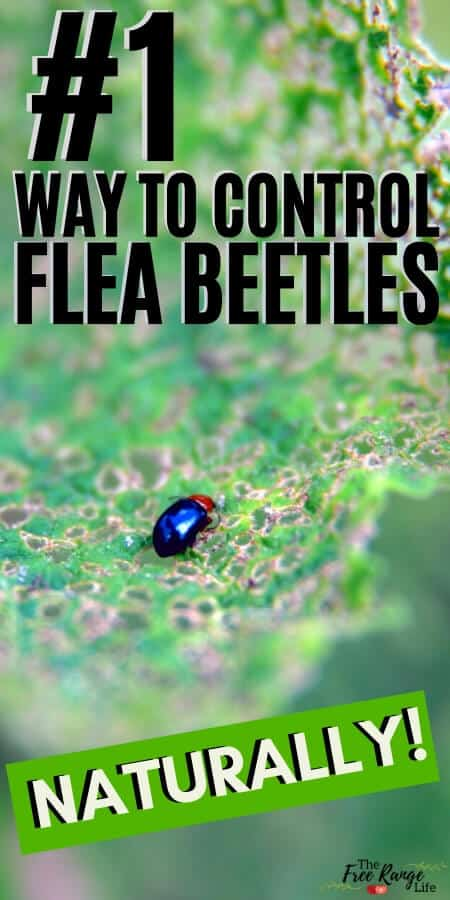#1 way to control flea beetles naturally with a close up of black beetle
