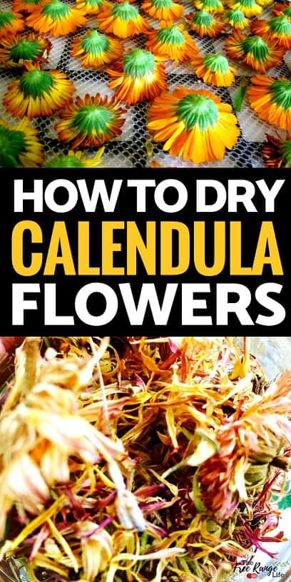 Preserving Foods: Do you have calendula growing in the garden? Learn how to preserve it and have your own dried calendula flowers for use in tea, salves, and more!
