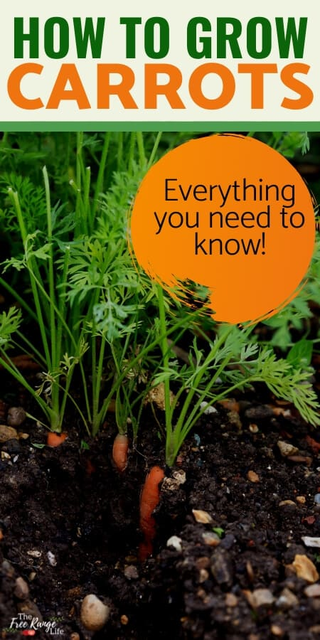 how to grow carrots everything you need to know