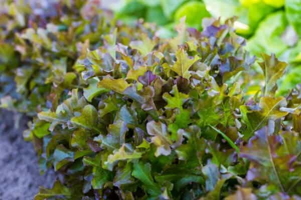 How to Grow Lettuce in Your Vegetable Garden