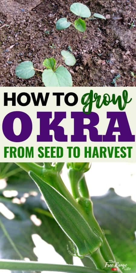 how to grow okra with pictures of okra seedlings and okra pod